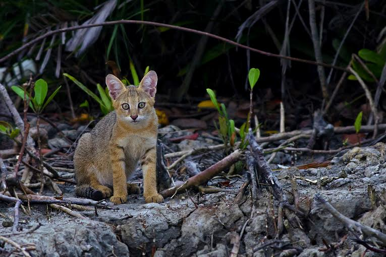 Jungle cat kitten photographed in the Sundarbans Tiger Reserve by Arghya Adhikary