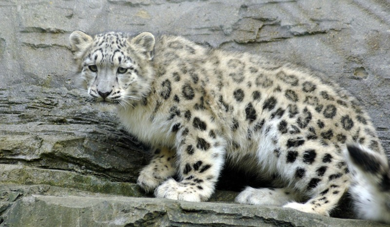 Snow Leopard International Society For Endangered Cats