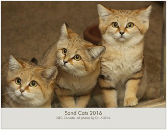Buy Canada Black Footed Cat
