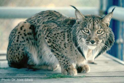 spanish lynx essay The first half on how the iberian lynx became critically endangered started by two diseases first disease is myxomatosis is a disease found in.