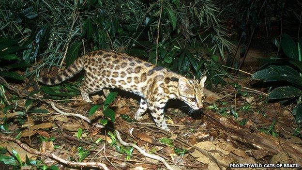 Oncilla international society for endangered cats isec - Chat type leopard ...