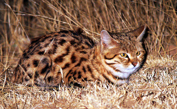Black Footed Cat Diet