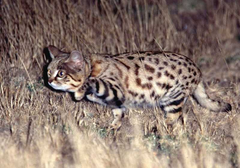 Black Footed Cat Endangered