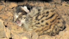 Black-footed Cat Project