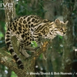 Margay-in-a-tree