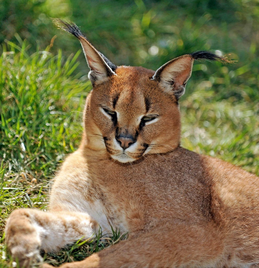 the actual number of Caracals in the wild which at present is unknown