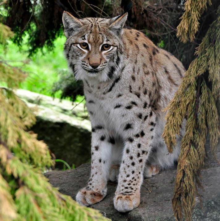 wild cat conservation Archives - International Society for ...