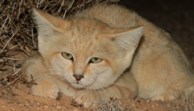 Sand Cats of Morocco
