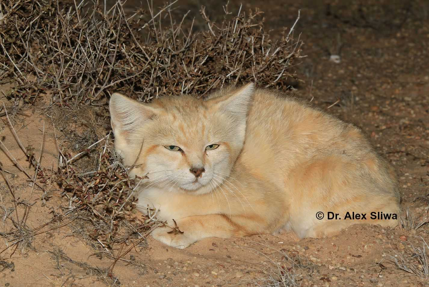 Sand Cats of Morocco - International Society for ...