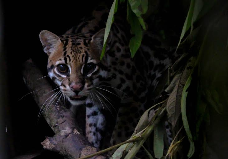 An ocelot awaits its relocation in January 2016 (Photo: Justin Taus).